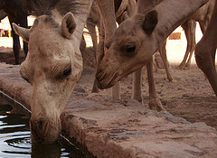 Camels can drink a lot of water